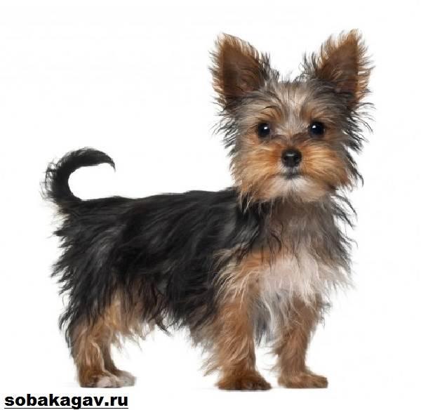 Йоркширский-терьер-собака-Описание-особенности-уход-и-цена-йоркширского-терьера-10