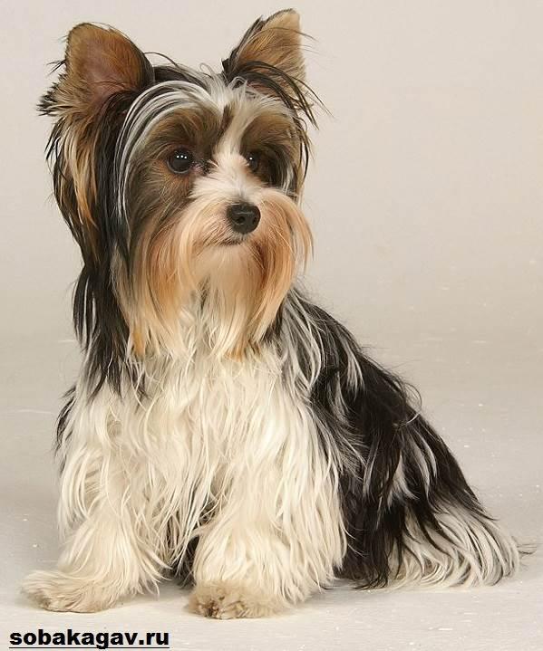 Йоркширский-терьер-собака-Описание-особенности-уход-и-цена-йоркширского-терьера-12