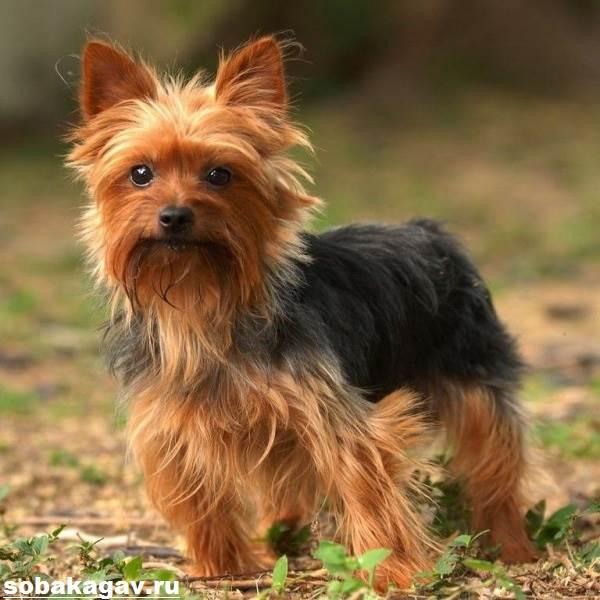 Йоркширский-терьер-собака-Описание-особенности-уход-и-цена-йоркширского-терьера-2