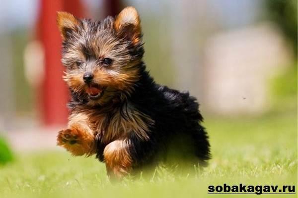 Йоркширский-терьер-собака-Описание-особенности-уход-и-цена-йоркширского-терьера-3