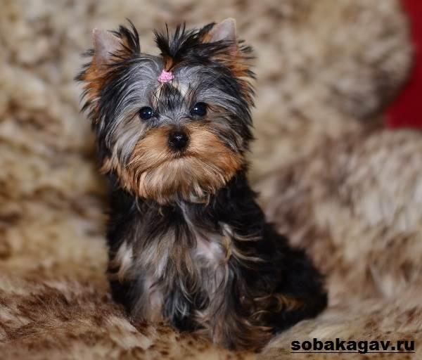 Йоркширский-терьер-собака-Описание-особенности-уход-и-цена-йоркширского-терьера-6