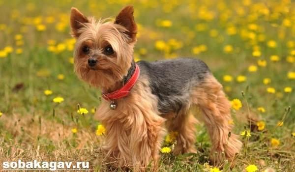 Йоркширский-терьер-собака-Описание-особенности-уход-и-цена-йоркширского-терьера-7