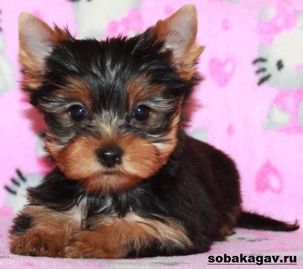 Йоркширский-терьер-собака-Описание-особенности-уход-и-цена-йоркширского-терьера-8