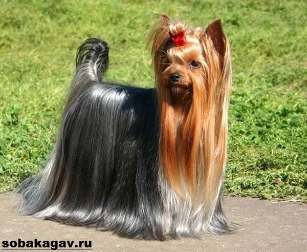 Йоркширский-терьер-собака-Описание-особенности-уход-и-цена-йоркширского-терьера-9