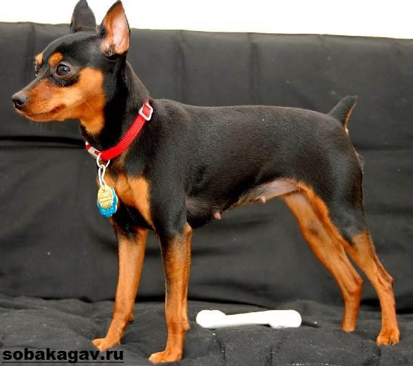 Карликовый-пинчер-собака-Описание-особенности-уход-и-цена-карликого-пинчера-10