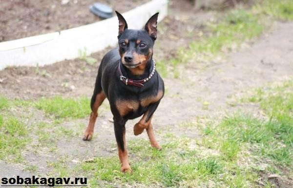 Карликовый-пинчер-собака-Описание-особенности-уход-и-цена-карликого-пинчера-2
