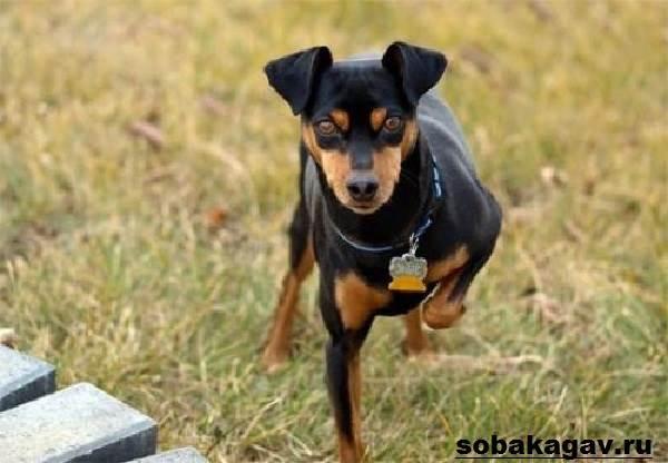 Карликовый пинчер (цвергпинчер): фото собаки, цена, описание породы, характер, видео