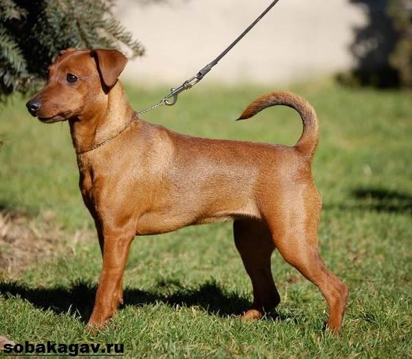 Карликовый-пинчер-собака-Описание-особенности-уход-и-цена-карликого-пинчера-4