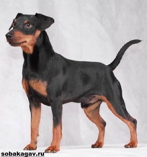 Карликовый-пинчер-собака-Описание-особенности-уход-и-цена-карликого-пинчера-6