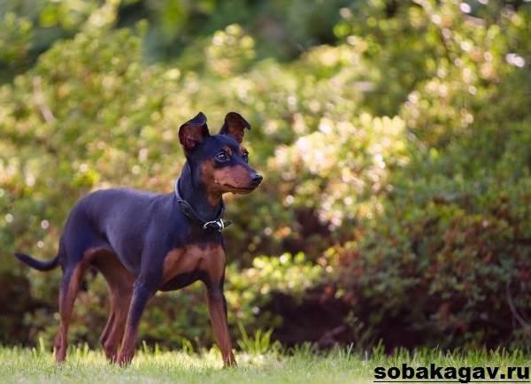 Карликовый-пинчер-собака-Описание-особенности-уход-и-цена-карликого-пинчера-7