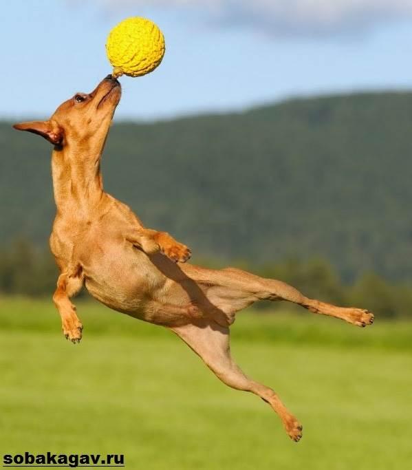 Карликовый-пинчер-собака-Описание-особенности-уход-и-цена-карликого-пинчера-9