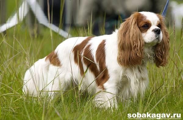 Кавалер-кинг-чарльз-спаниель-собака-Описание-особенности-уход-и-цена-породы-1