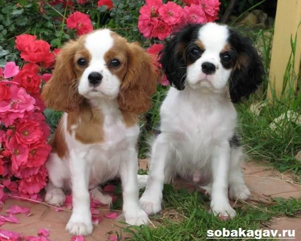 Кавалер-кинг-чарльз-спаниель-собака-Описание-особенности-уход-и-цена-породы-10