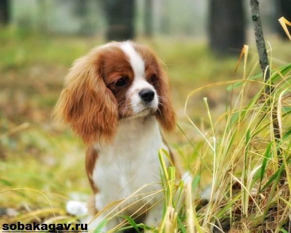 Кавалер-кинг-чарльз-спаниель-собака-Описание-особенности-уход-и-цена-породы-2