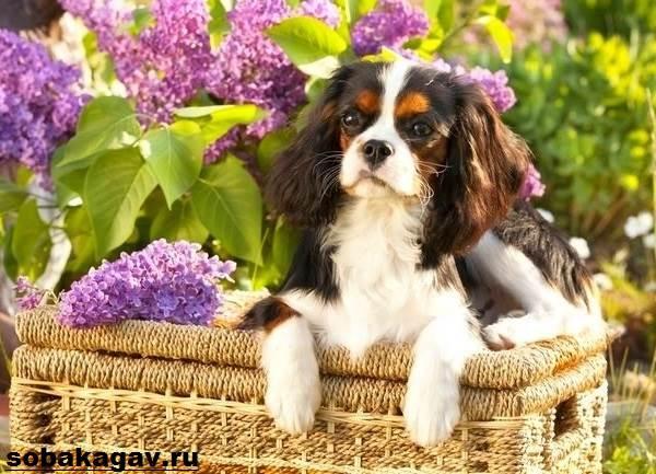 Кавалер-кинг-чарльз-спаниель-собака-Описание-особенности-уход-и-цена-породы-3
