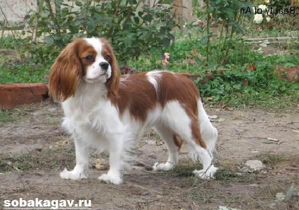 Кавалер-кинг-чарльз-спаниель-собака-Описание-особенности-уход-и-цена-породы-5