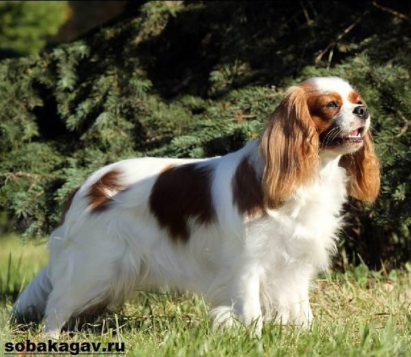 Кавалер-кинг-чарльз-спаниель-собака-Описание-особенности-уход-и-цена-породы-6