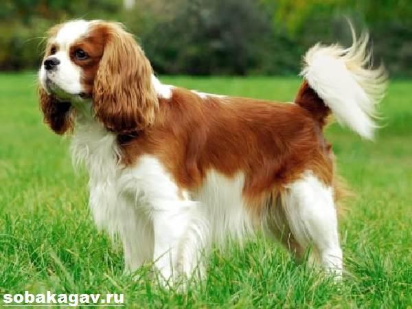 Кавалер-кинг-чарльз-спаниель-собака-Описание-особенности-уход-и-цена-породы-7