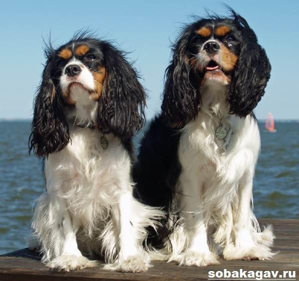 Кавалер-кинг-чарльз-спаниель-собака-Описание-особенности-уход-и-цена-породы-8