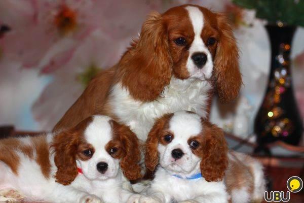 Кавалер-кинг-чарльз-спаниель-собака-Описание-особенности-уход-и-цена-породы-9