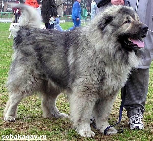 Кавказская-овчарка-собака-Описание-особенности-уход-и-цена-кавказской-овчарки-2