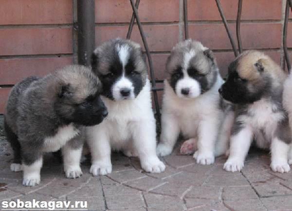 Кавказская-овчарка-собака-Описание-особенности-уход-и-цена-кавказской-овчарки-5