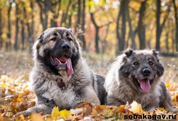 Кавказская-овчарка-собака-Описание-особенности-уход-и-цена-кавказской-овчарки-6