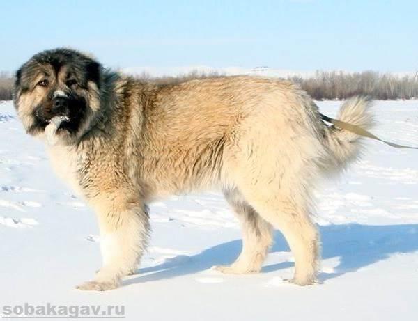 Кавказская-овчарка-собака-Описание-особенности-уход-и-цена-кавказской-овчарки-7