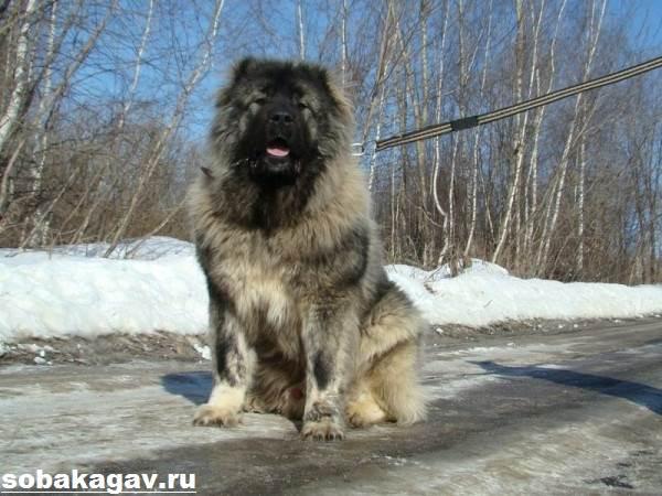 Кавказская-овчарка-собака-Описание-особенности-уход-и-цена-кавказской-овчарки-8