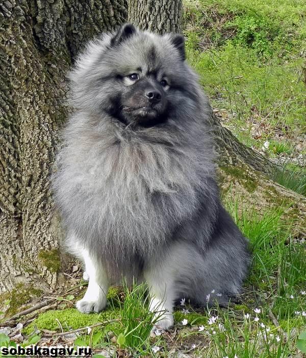 Кеесхонд-собака-Описание-особенности-уход-и-цена-породы-кеесхонд-1