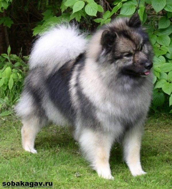 Кеесхонд-собака-Описание-особенности-уход-и-цена-породы-кеесхонд-10