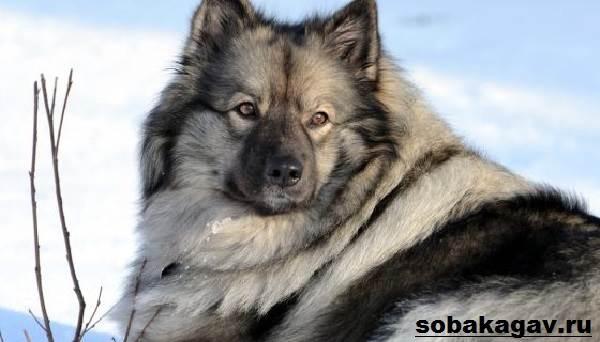 Кеесхонд-собака-Описание-особенности-уход-и-цена-породы-кеесхонд-11