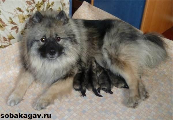 Кеесхонд-собака-Описание-особенности-уход-и-цена-породы-кеесхонд-6