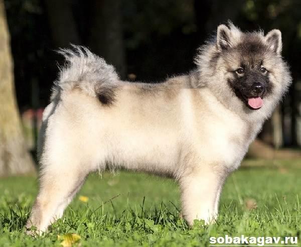 Кеесхонд-собака-Описание-особенности-уход-и-цена-породы-кеесхонд-8