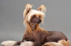 Китайская хохлатая собака. Описание, особенности, уход и цена китайской хохлатой