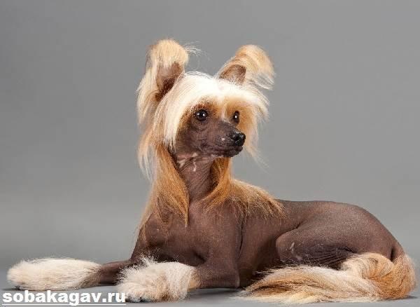 Китайская-хохлатая-собака-Описание-особенности-уход-и-цена-китайской-хохлатой-1