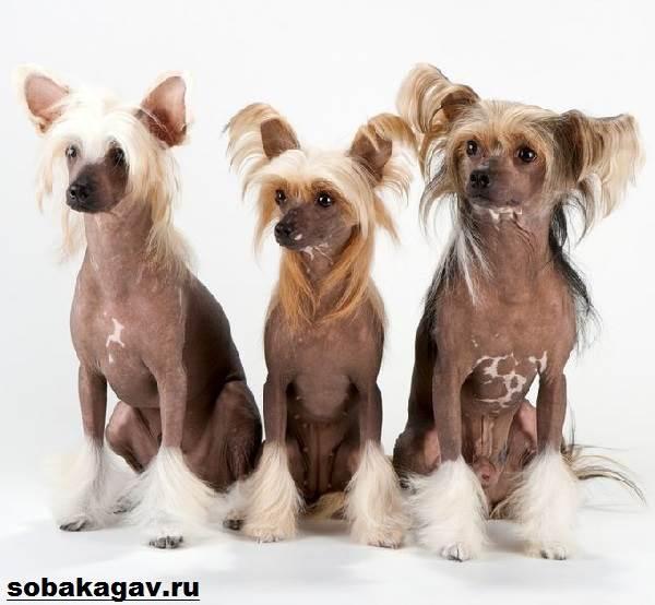Китайская-хохлатая-собака-Описание-особенности-уход-и-цена-китайской-хохлатой-10