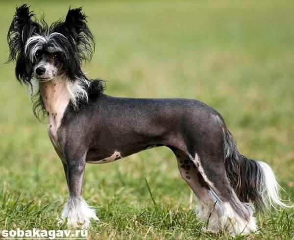 Китайская-хохлатая-собака-Описание-особенности-уход-и-цена-китайской-хохлатой-11