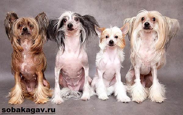 Китайская-хохлатая-собака-Описание-особенности-уход-и-цена-китайской-хохлатой-4