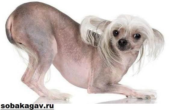 Китайская-хохлатая-собака-Описание-особенности-уход-и-цена-китайской-хохлатой-7
