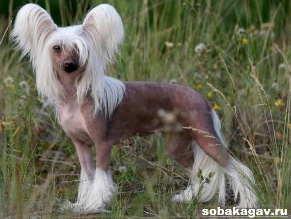 Китайская-хохлатая-собака-Описание-особенности-уход-и-цена-китайской-хохлатой-8