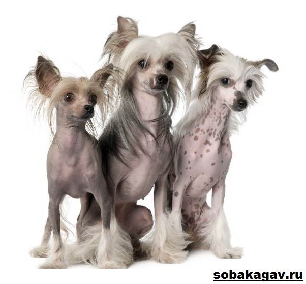Китайская-хохлатая-собака-Описание-особенности-уход-и-цена-китайской-хохлатой-9
