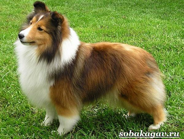 Колли-собака-Описание-особенности-уход-и-цена-колли-1