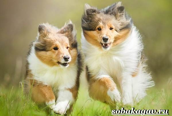 Колли-собака-Описание-особенности-уход-и-цена-колли-10