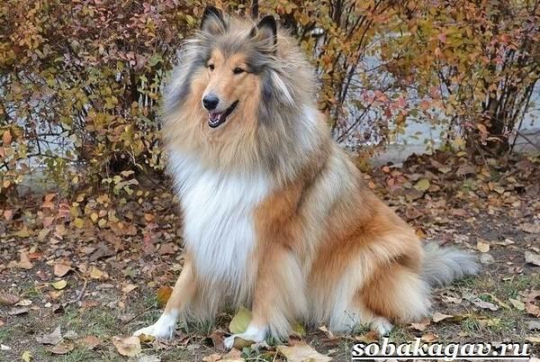 Колли-собака-Описание-особенности-уход-и-цена-колли-11