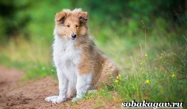 Колли-собака-Описание-особенности-уход-и-цена-колли-13
