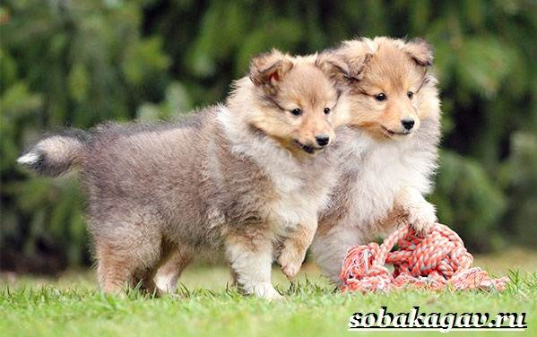Колли-собака-Описание-особенности-уход-и-цена-колли-2
