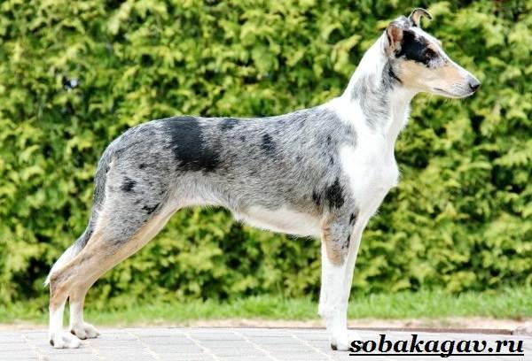 Колли-собака-Описание-особенности-уход-и-цена-колли-3