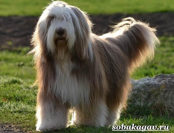 Колли-собака-Описание-особенности-уход-и-цена-колли-4
