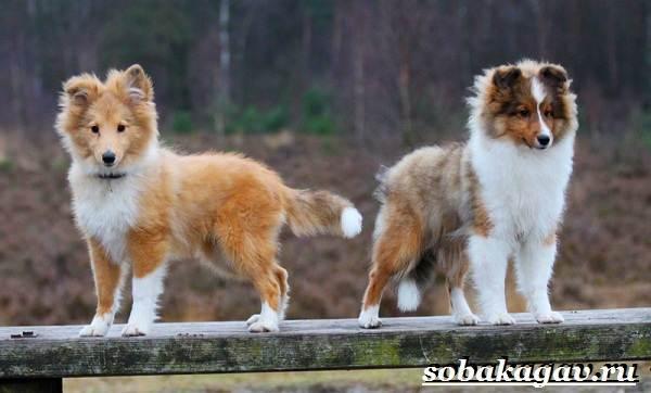 Колли-собака-Описание-особенности-уход-и-цена-колли-8